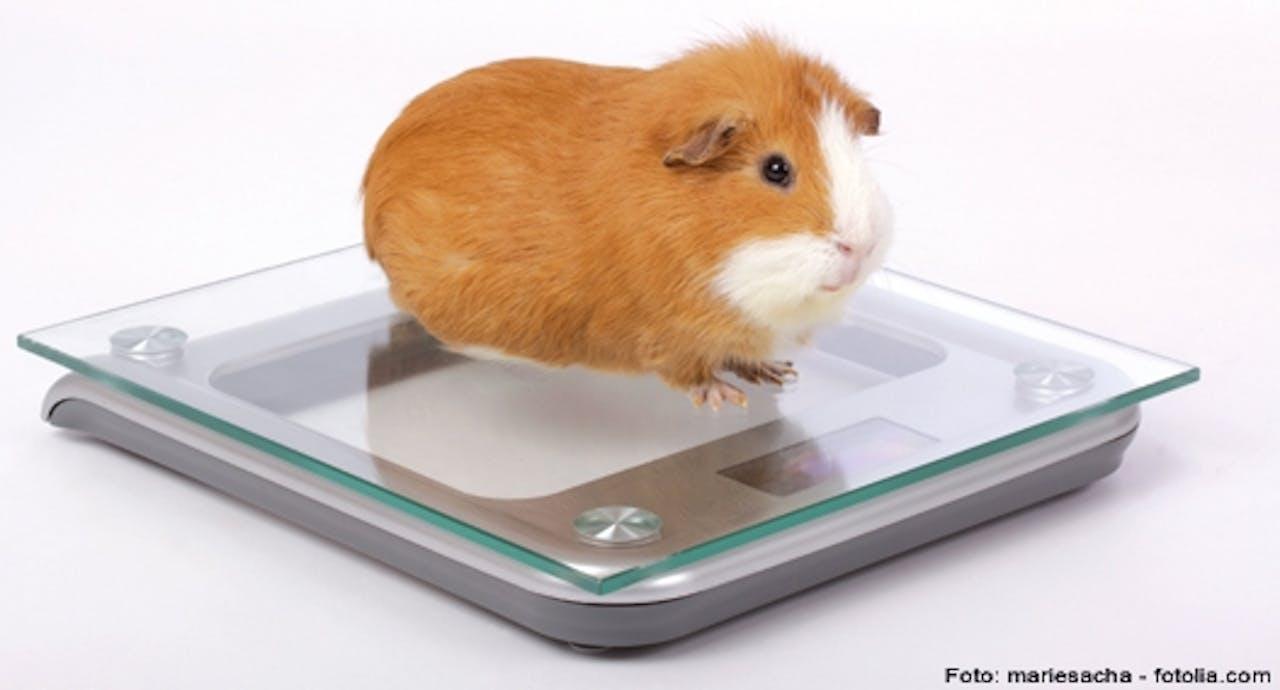Gewichtskontrolle Meerschweinchen