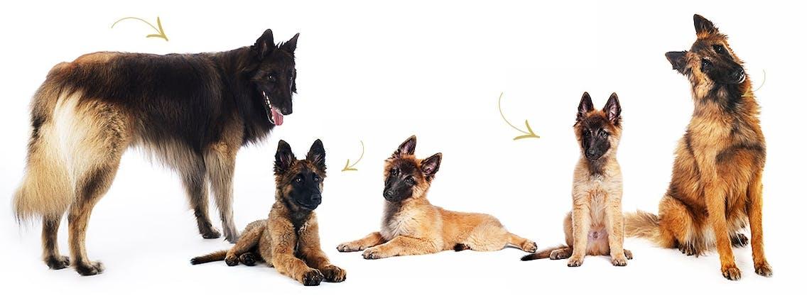 Belgische Schäferhund Adult und Welpen mit ausgeprägter Charbonnage Wolkung