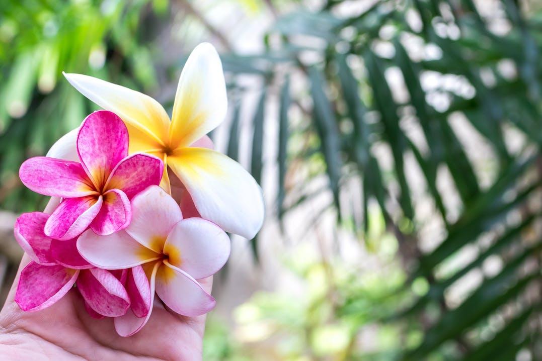 Pinke und gelbe Blüten in einer offenen Hand. Im Hintergrund grüne Palmen