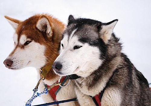2 Huskys im Schnee