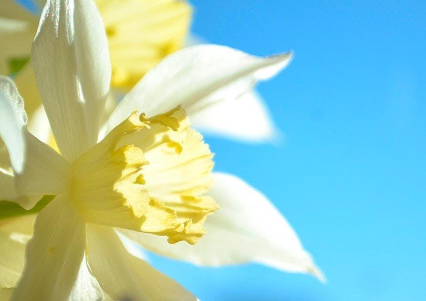 Gelbe Narzisse vor blauem Himmel.