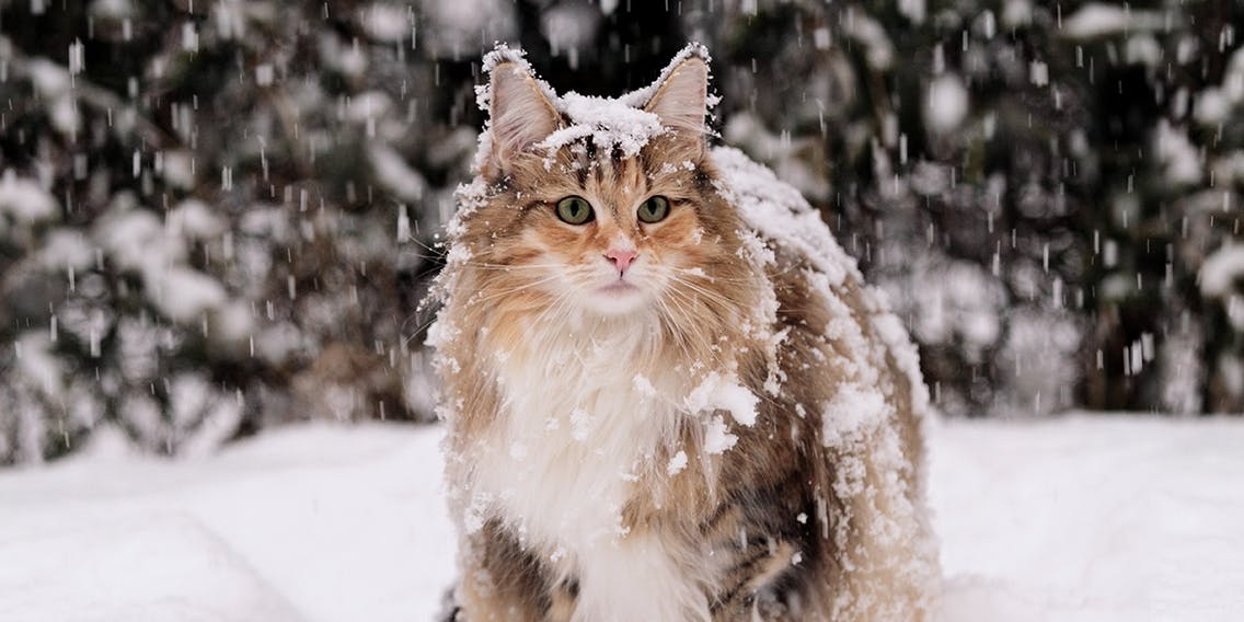 Norwegische Waldkatze im Winter