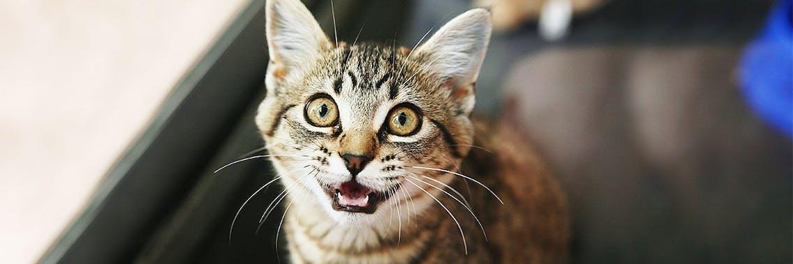 Warum miauen Katzen