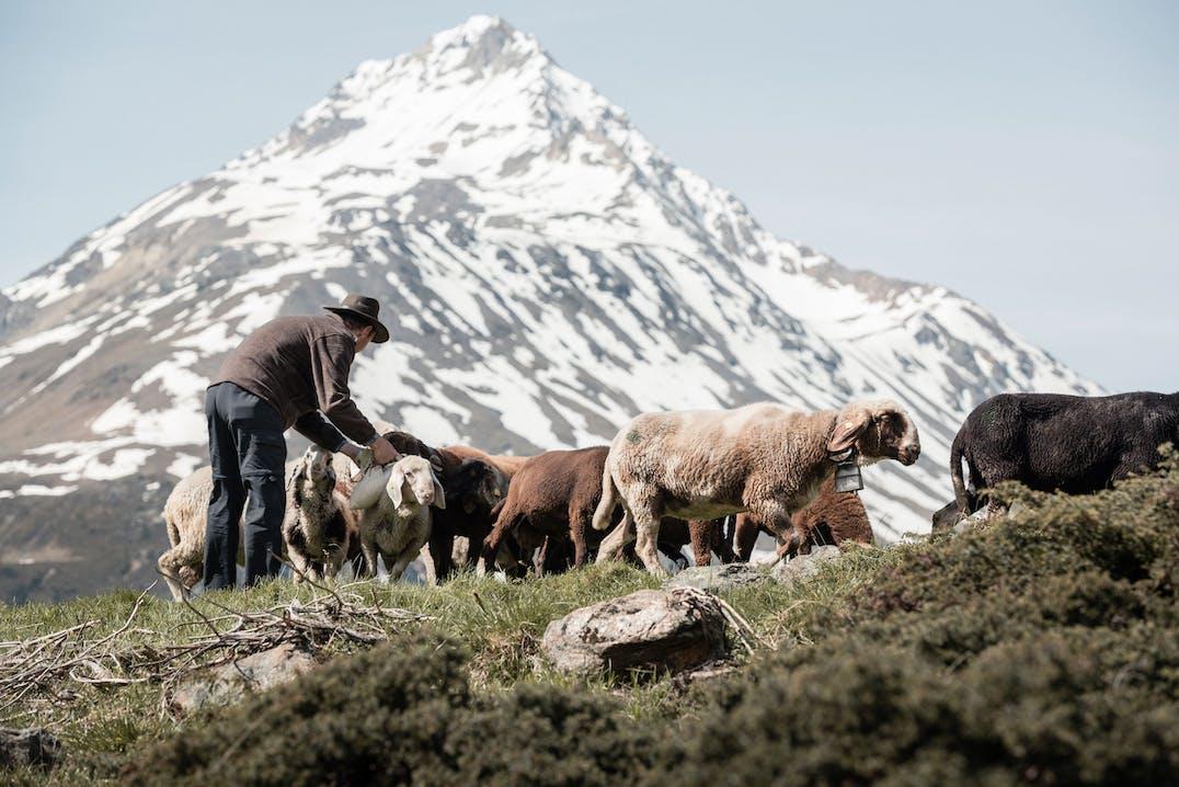 Sarner Wolle von Sarner Schafen für Sarnerjacken