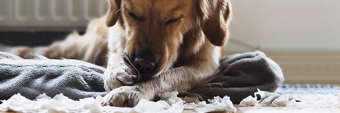 Hund zerstört Gegenstände zuhause