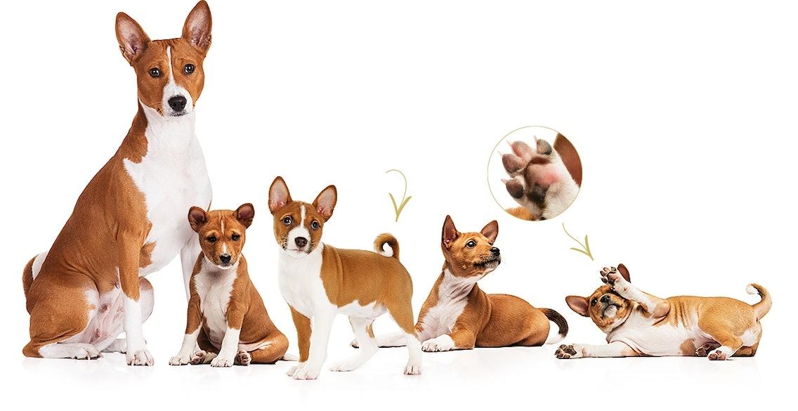 Erwachsener Basenji Hund mit Basenji Welpen
