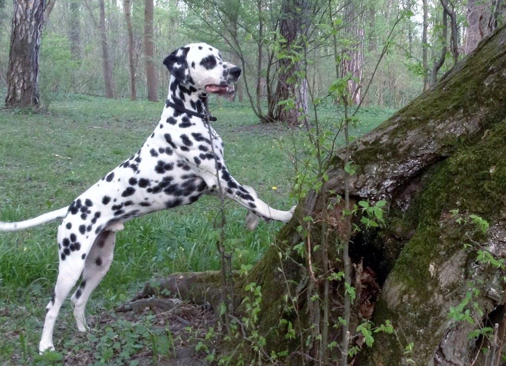 Junger tauber Dalmatiner