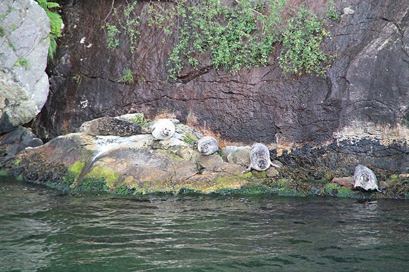 Wer beobachtet hier wen? Seehunde am Lysefjord.