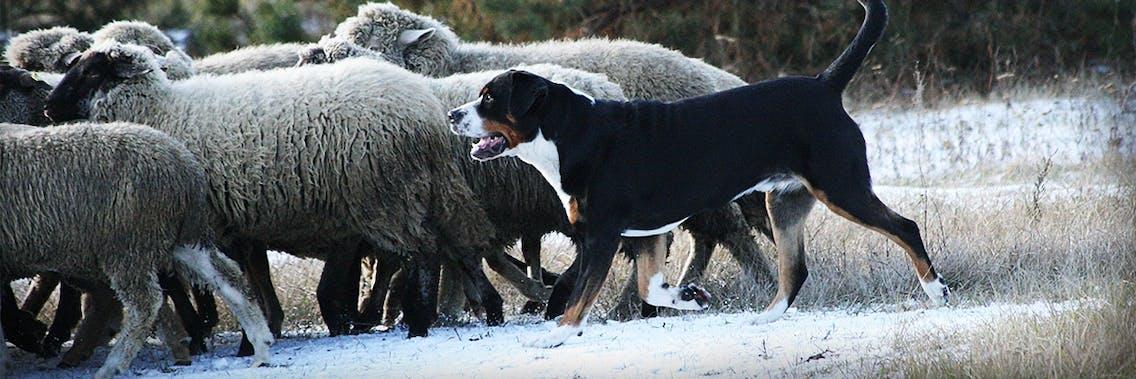 Großer Berner Sennenhund beim Viehtrieb