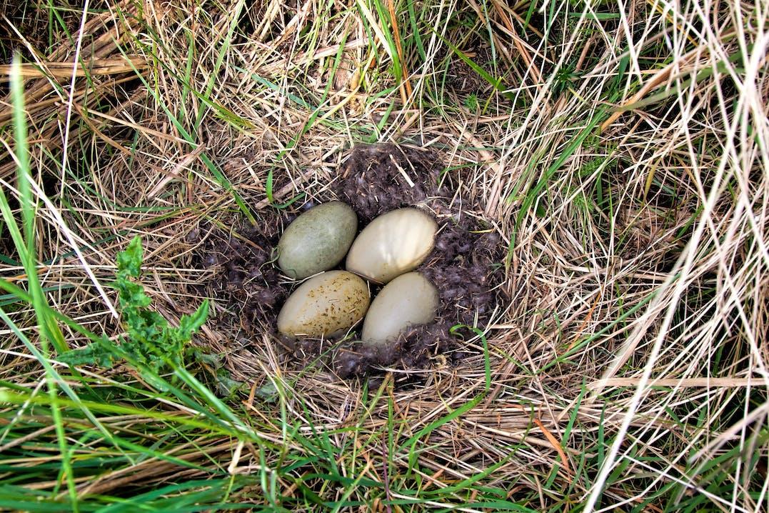 Die klettigen Brustfedern des Weibchen schützen das Nest vor eisiger Kälte und  Wind.