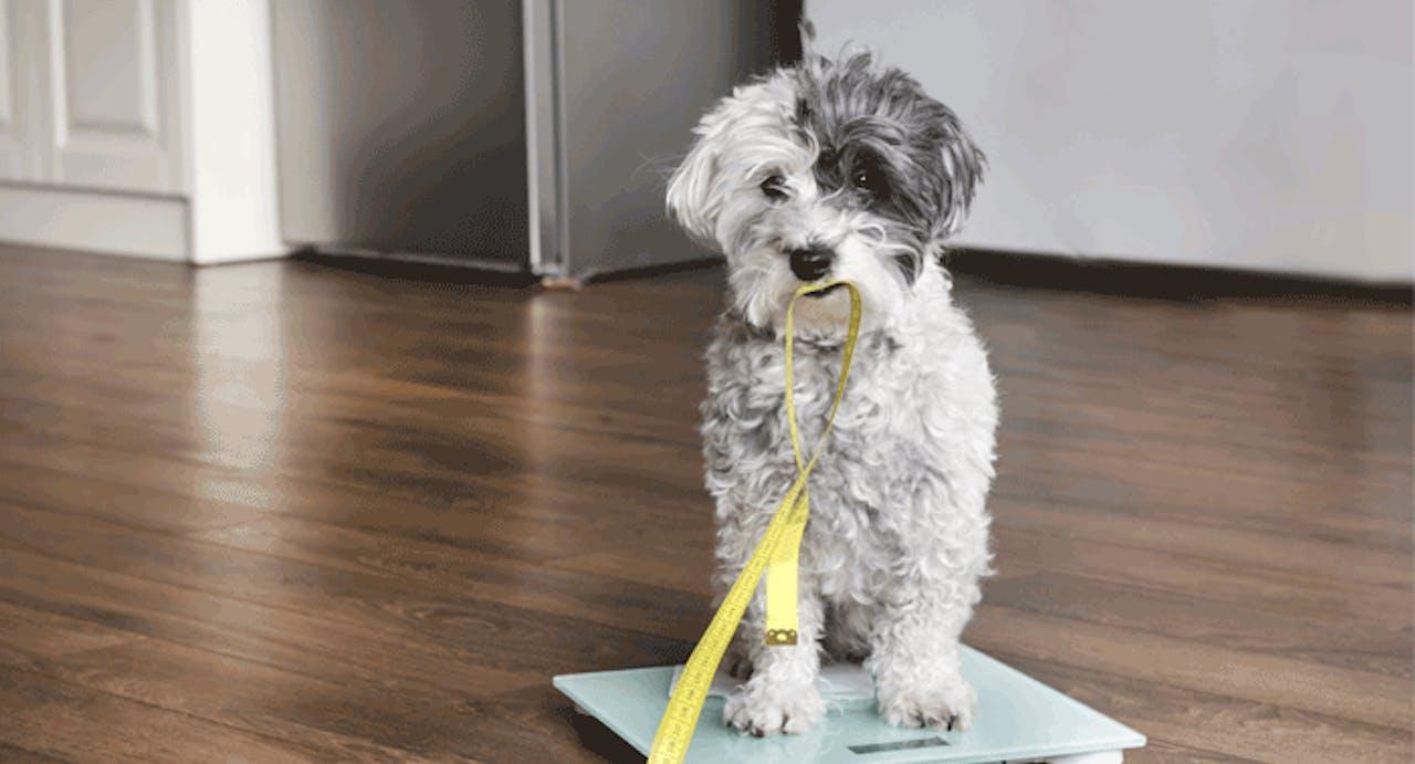Gewichtskontrolle Hund