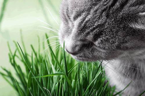 Das Katzengras - wichtige Nahrungsergänzung für Katzen