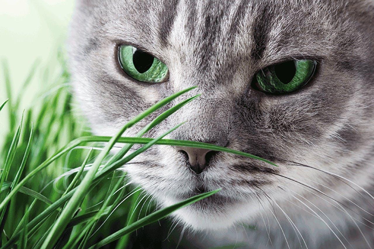 Katze riecht an Katzengras