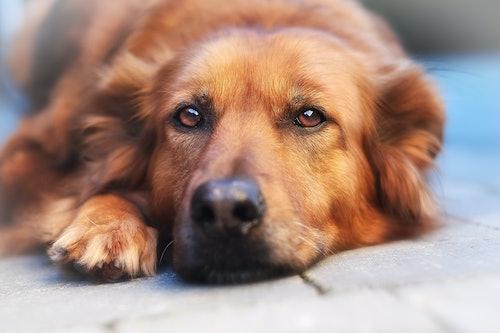 Schilddrüsenerkrankung bei Hunden