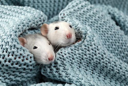 Tipps zur Rattenhaltung