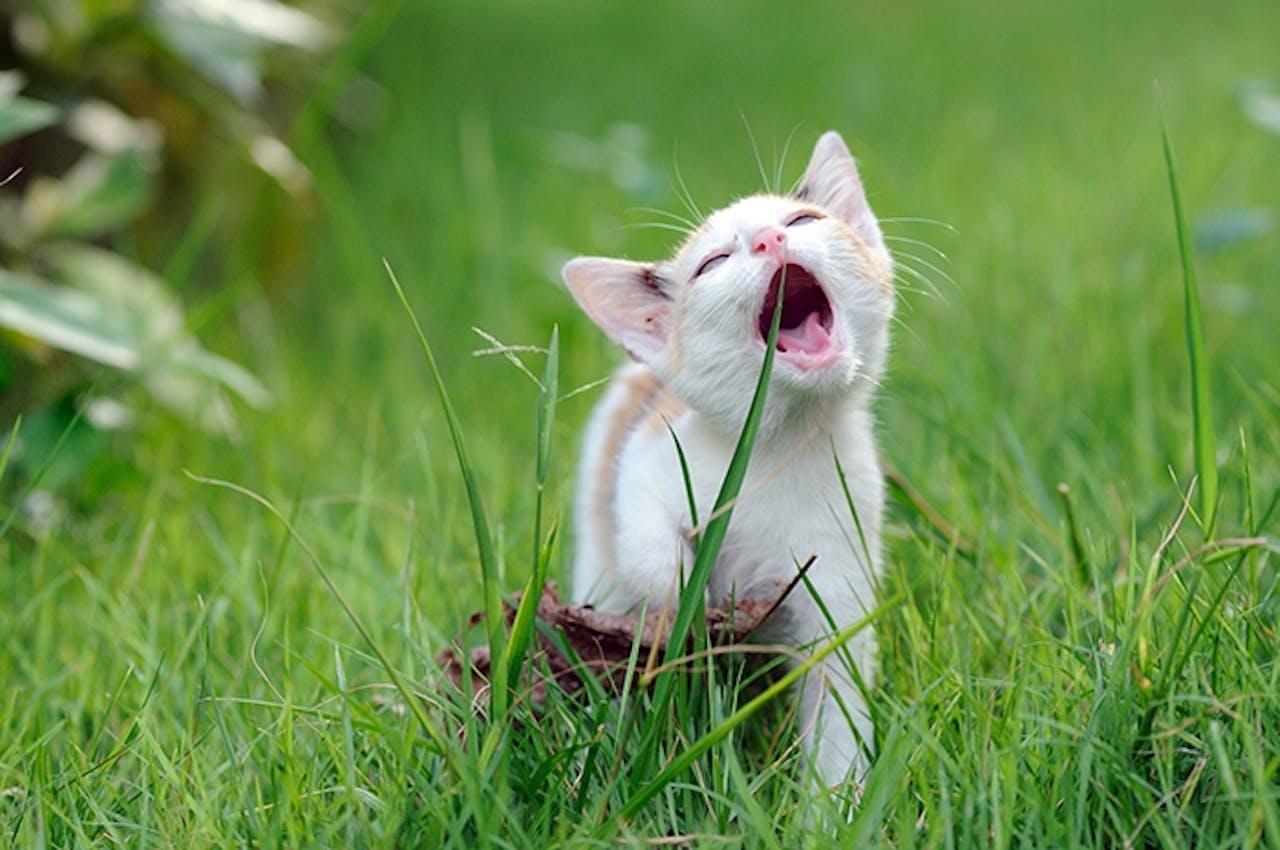 katzengras wirkung