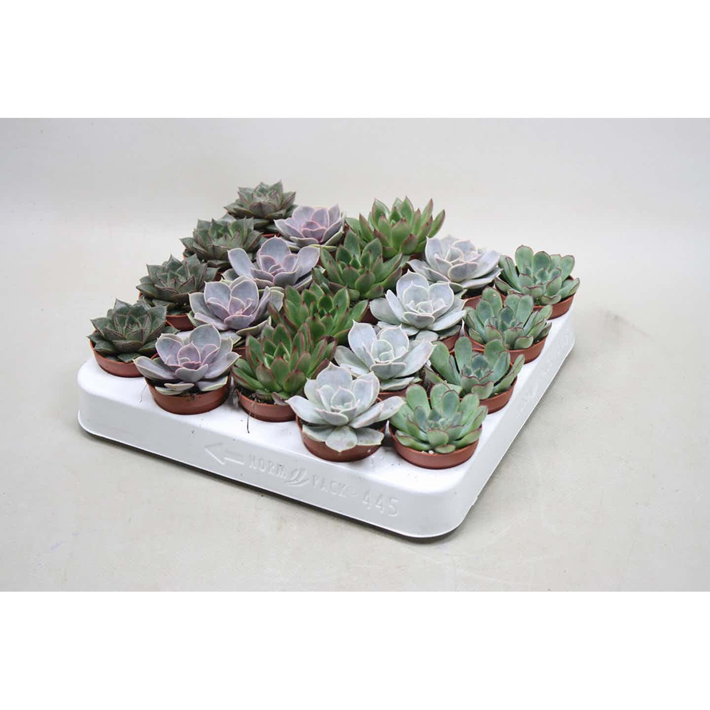 Echeveria mix mini wys. 5-10cm don. 8,5cm