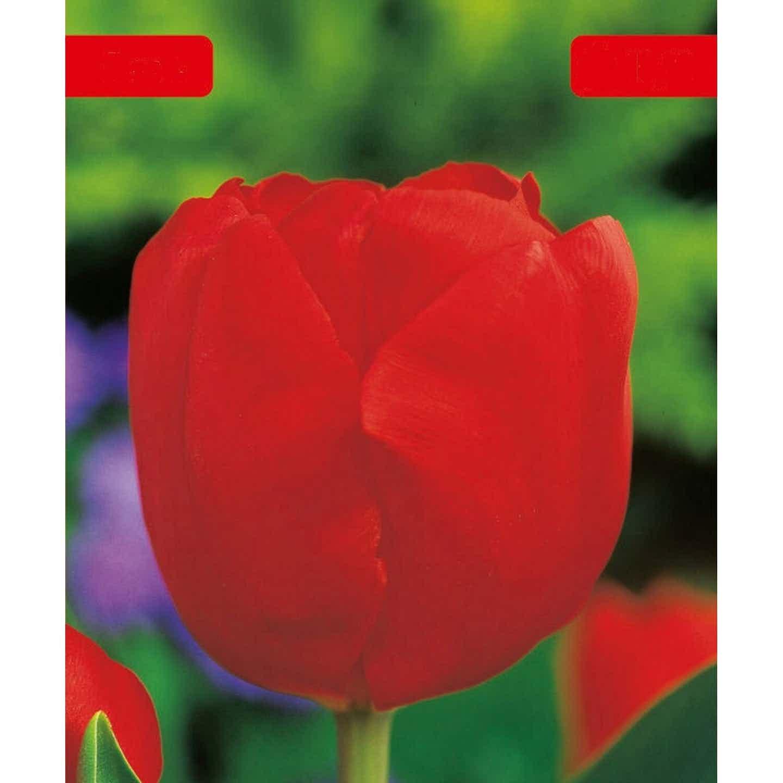 Tulipany, narcyzy - cebule luzem