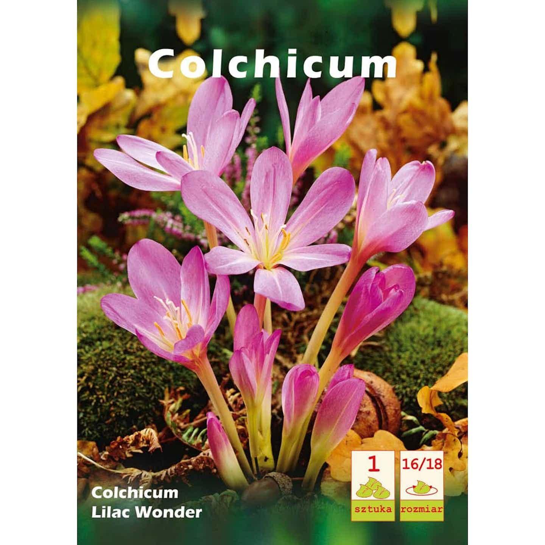 Zimowit Colchicum Lilac Wonder 1szt