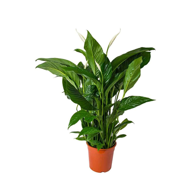 Skrzydłokwiat Sweet Lauretta (Spathiphyllum Sweet Lauretta) 85-105cm, don.24cm