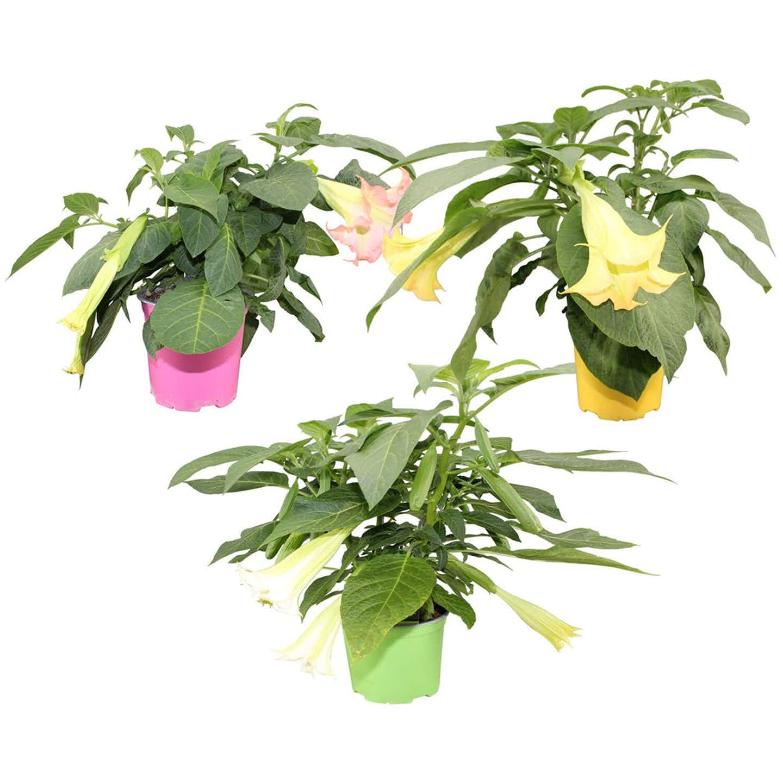 Brugmansia mix Wys. 40cm don. 19cm