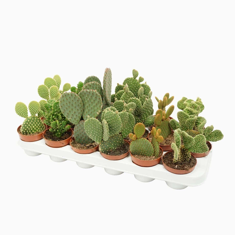 Opuntia Kaktus mix