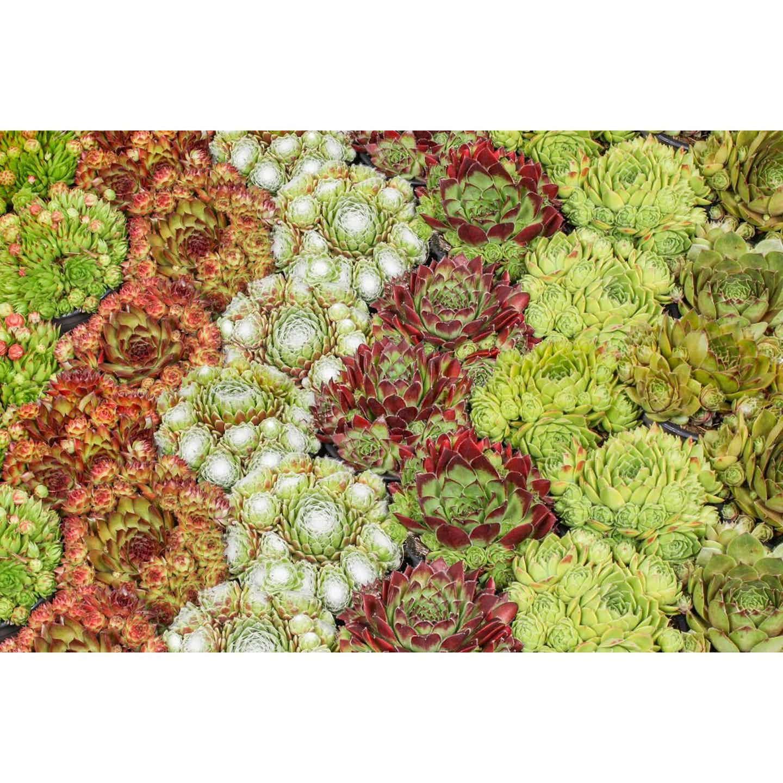 Rojnik (Sempervivum) don. 9 cm mix