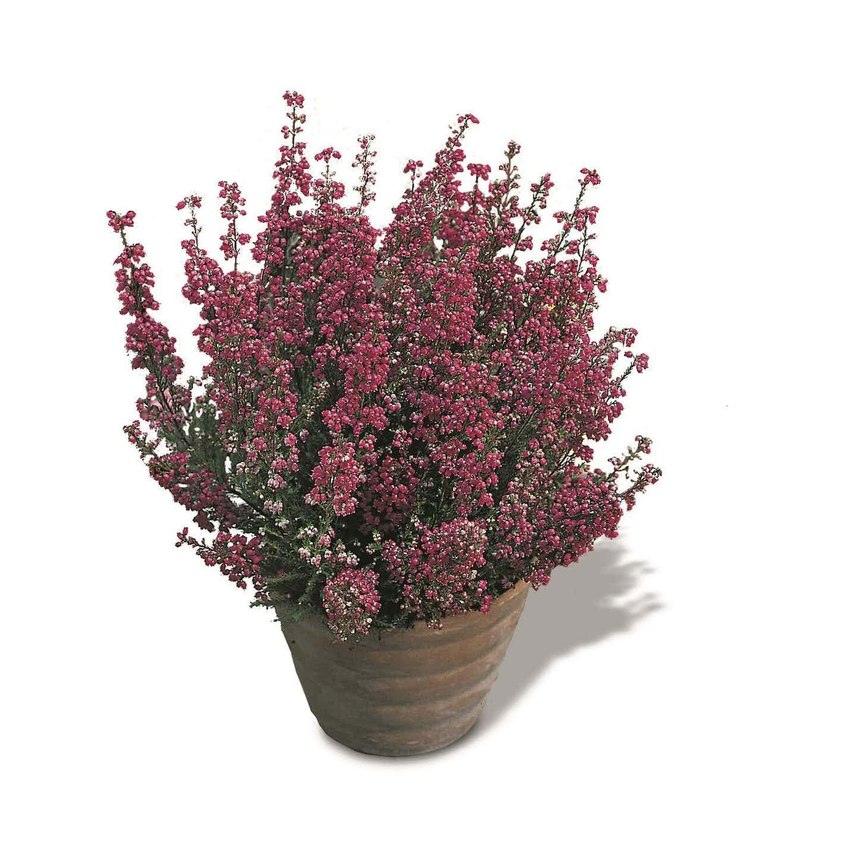 Wrzosiec jesienny (Erica gracilis)