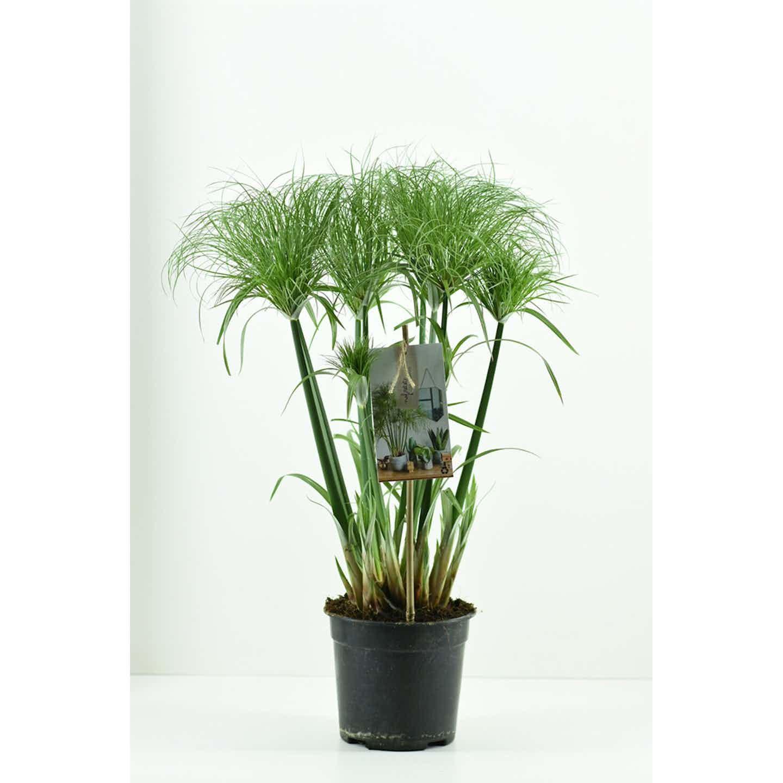 Cyperus Nofretete papyrus wys. 55-75cm don. 19cm