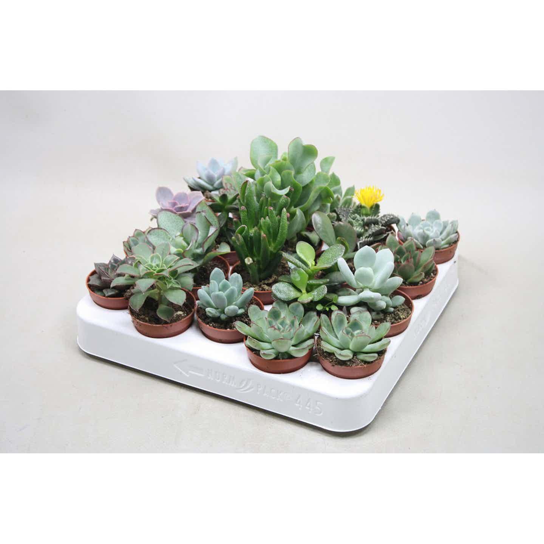 Succulenten mix wys. 5-7cm don. 5,5cm