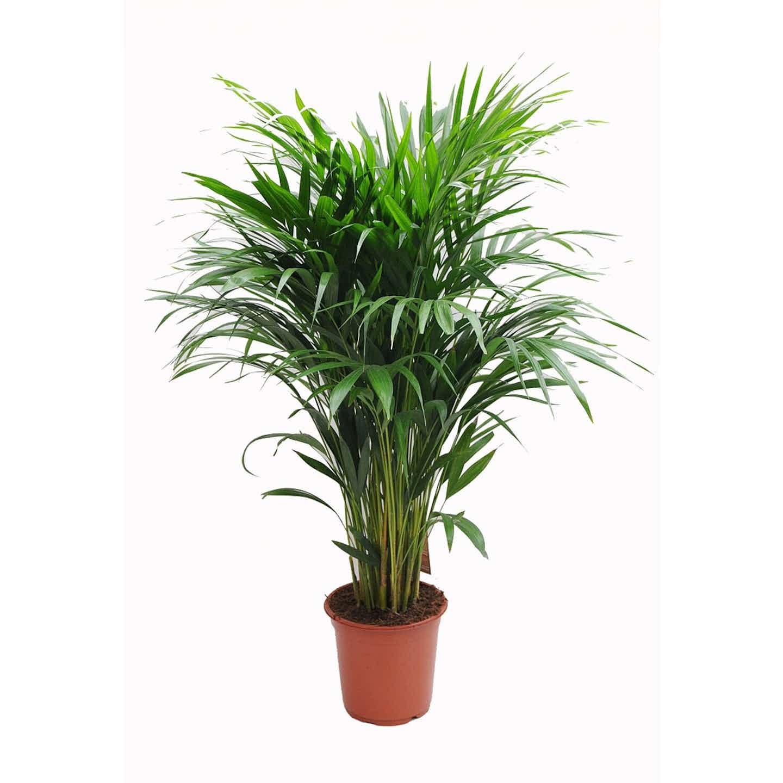 Areca lutescens wys. 130 cm don.24 cm