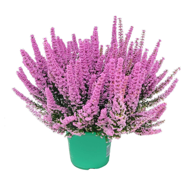 4 Flower Wrzosiec Beauty Queens  Erica gracilis) wys. 30-40cm don.17cm