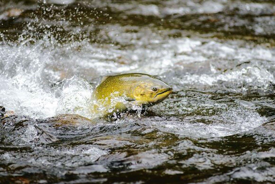 Ein wilder weiblicher Chinook-Lachs schwimmt stromaufwärts zu den Laichplätzen. Vancouver Island, British Columbia. EIKO JONES