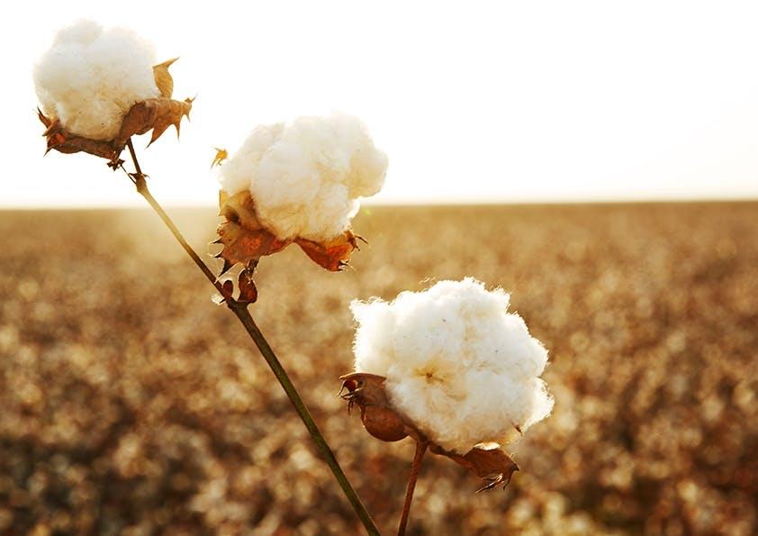 Baumwoll-Pflanze