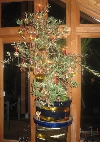 Olivenbaum als Weihnachtsbaum geschmückt