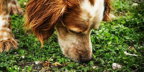 Giardieninfektion beim Hund
