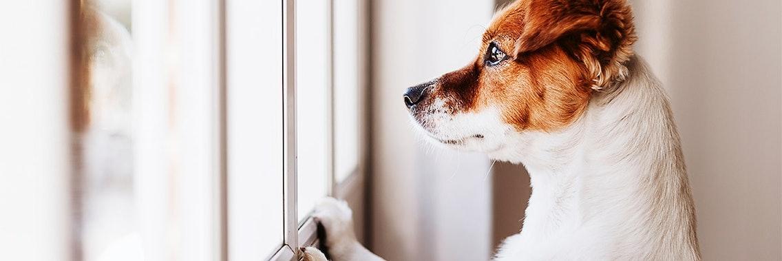 Trennungsangst beim Hund