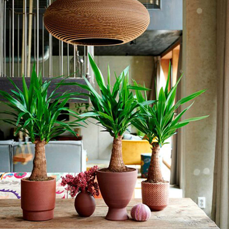 Palmlilien auf dem Tisch