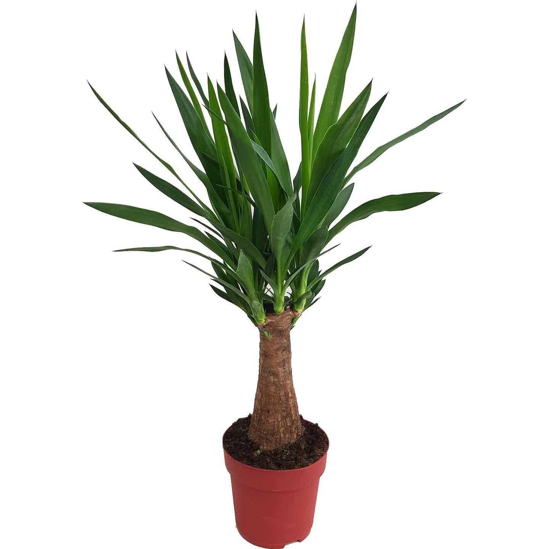 Palmlilie 1er Stamm Höhe ca. 60 - 70 cm Topf-Ø ca. 19 cm Yucca
