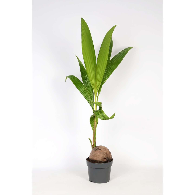 Kokospalme Topf-Ø 19 cm Cocos nucifera