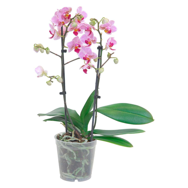 Schmetterlings-Orchidee multiflora 2-Trieber 16+ Blüten verschiedene Farben