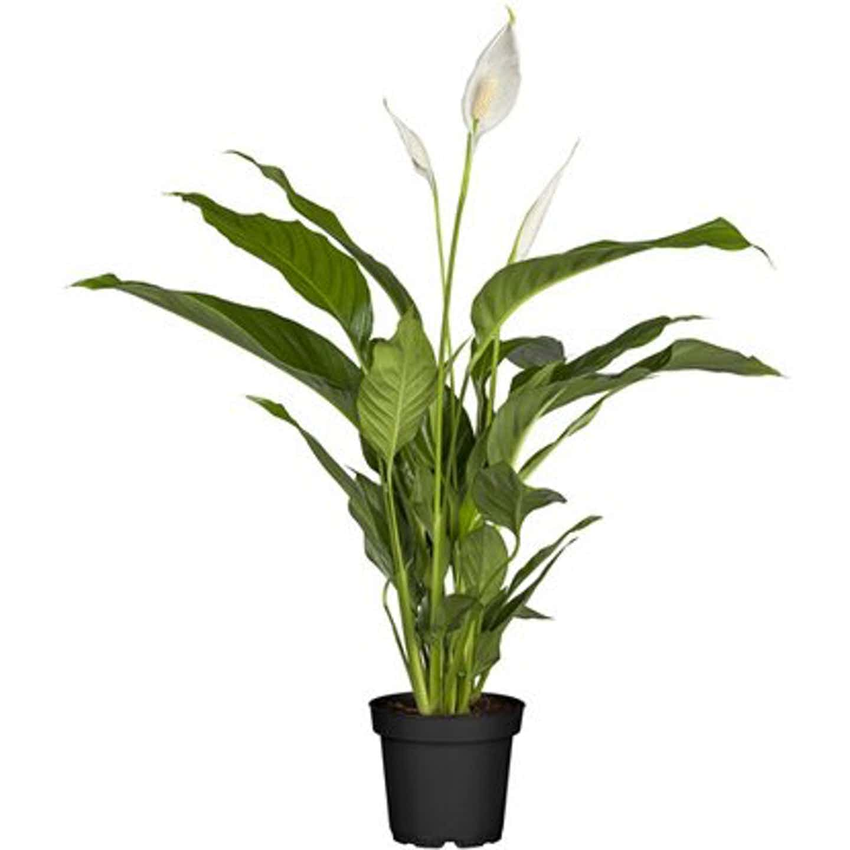 "Einblatt ""Sweet Lauretta"" Topf-Ø ca. 21 cm Spathiphyllum"