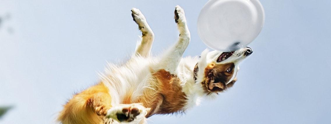 Hund springt beim Dogfrisbee