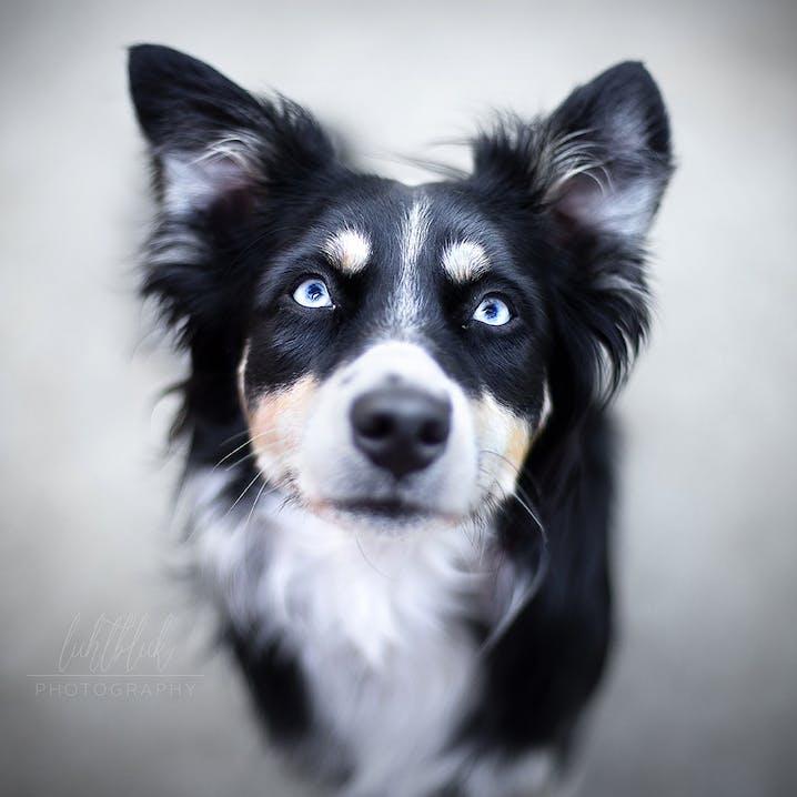 pets Premium Bürohund Mali