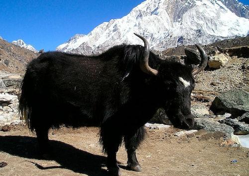 Yak mit schwarzem Fell und Hörnern vor Bergen mit Schnee.