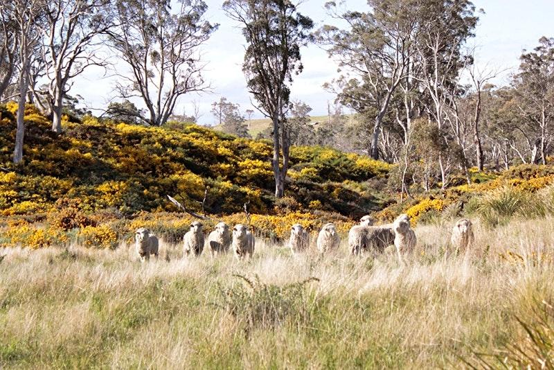 Schaf auf Tasmanien sollte man sein...