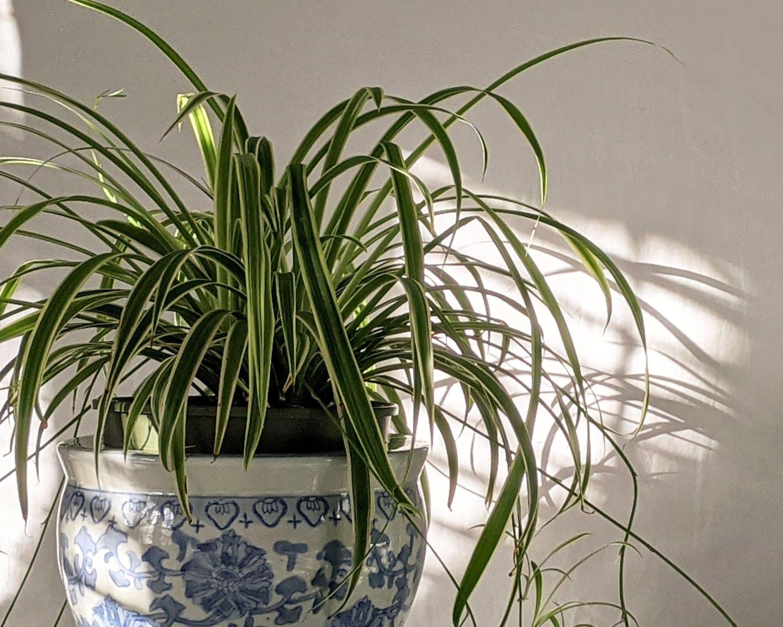 Chlorophytum comosum comme plante de bureau