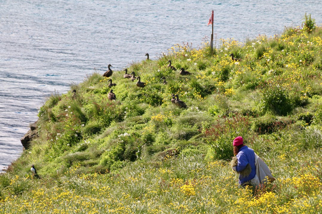 Das Sammeln der kostbaren Eiderdaunen, aus den von Ente und Jungvögeln verlassenen Nestern, erfolgt in Handarbeit und sehr vorsichtig.