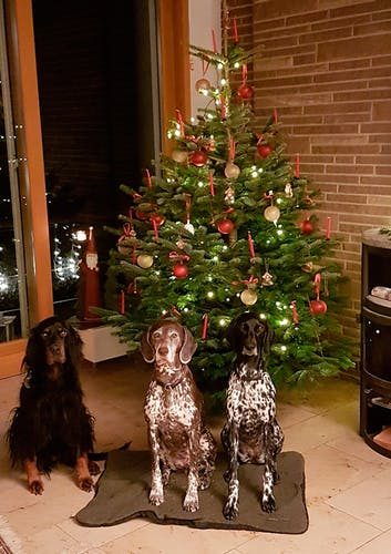 3 Hunde posieren vorm Tannenbaum.