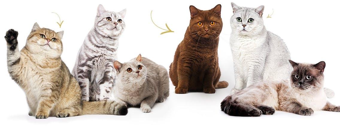 Britisch Kurzhaar Katzen in verschiedenen Farben